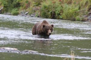 Kodiak Brown Bear and Coho Salmon Fishing