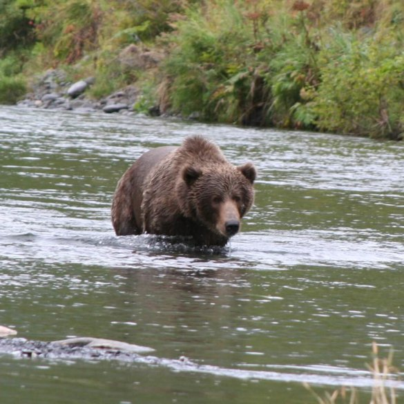 Kodiak Brown Bear and Coho Salmon Fishing