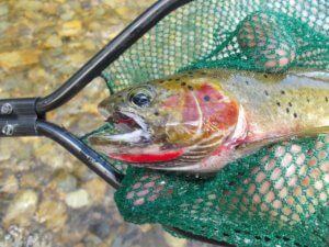 trout in fishing net