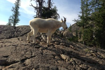 mountain goat in galls