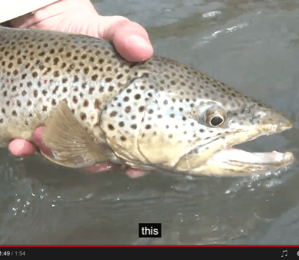 fly-fishing-brown-trout