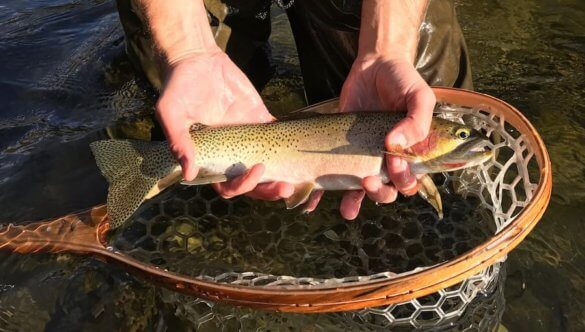 This best fly fishing net image shows a Brodin fishing net with a trout.