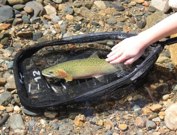 This best fishing net for fly fishing shows a cutthroat trout in the water in the net with a child's hand.