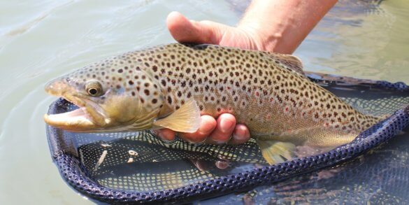brown-trout-echo-ion-reel