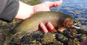 This image shows a cutthroat trout.