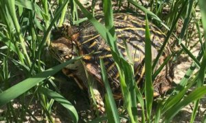 This photo shows an ornate box turtle in Nebraska.