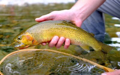 This photo shows a cutthroat trout caught by a fisherman wearing the men's Orvis Ultralight Convertible Waders.