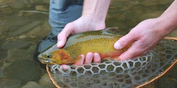 This photo shows the author holding a cutthroat trout while wearing the Orvis Ultralight Wading Boots.