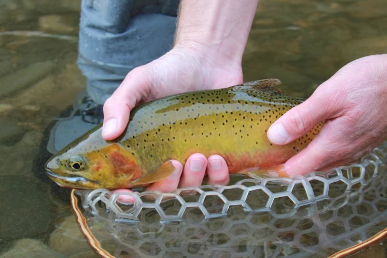 This photo shows a fly fisher wearing the Orvis Ultralight Wading Boots while holding a cutthroat trout.