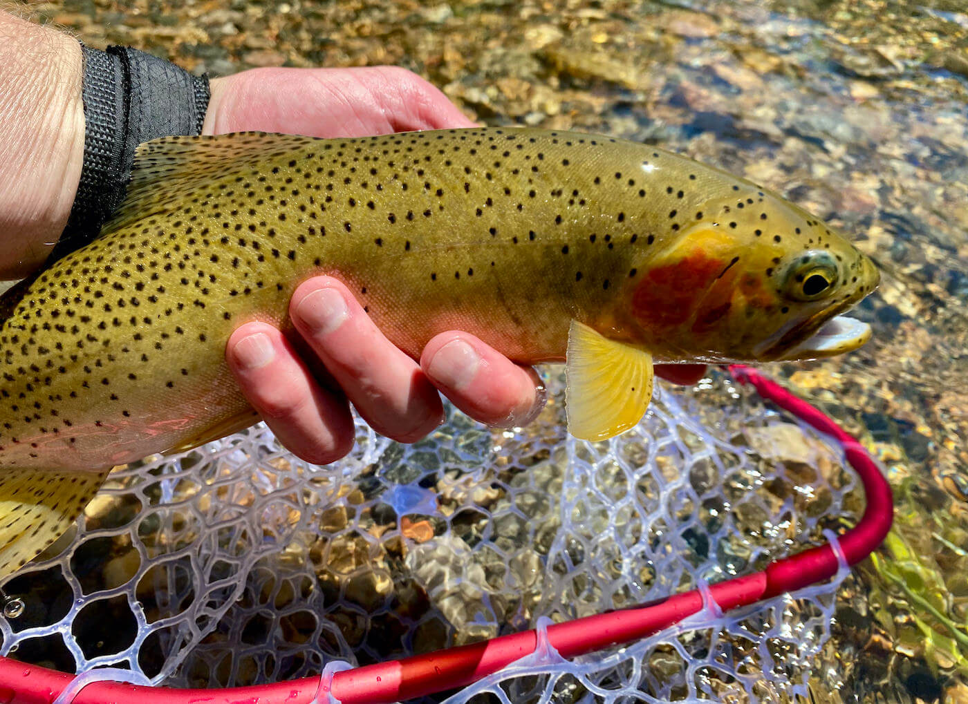 This review and testing photo shows the Rising Brookie Net with a cutthroat trout.