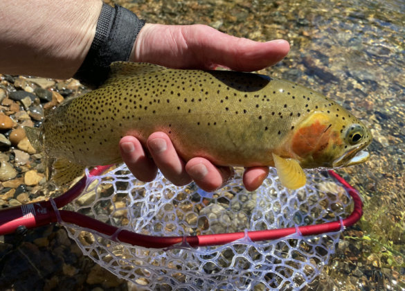 This photo shows a cutthroat trout that was caught with the Rising Brookie Net during the testing and review process.